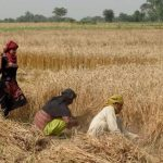 Sindh farmers forced to sell wheat harvests to middlemen at lower rates as govt delays procurement